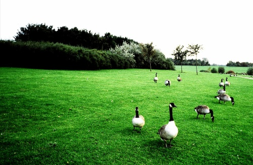 Xp_geese_01350012