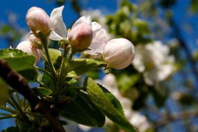Blossom_005