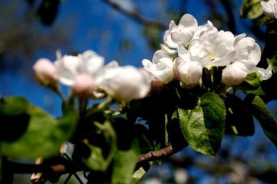 Blossom_006