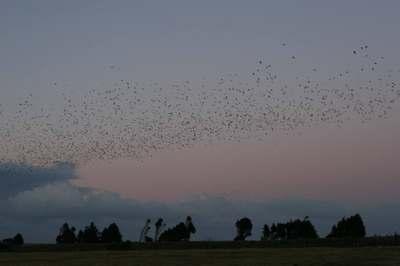 Starlings2458