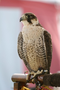 Birds_of_prey1